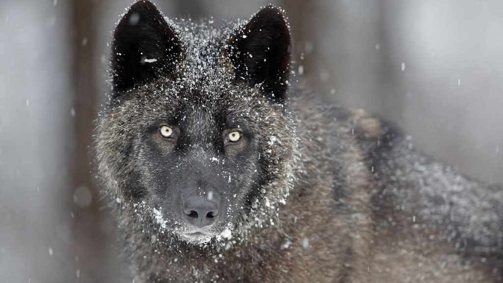 Wolf Full HD Wallpaper 1920x1080