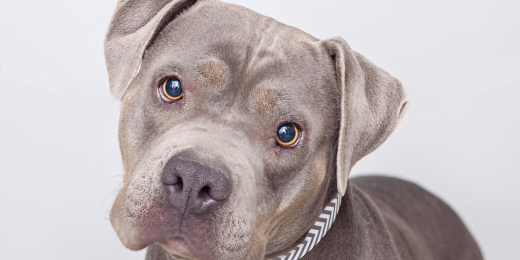 Pit bull Dog Wallpaper 2000x1000