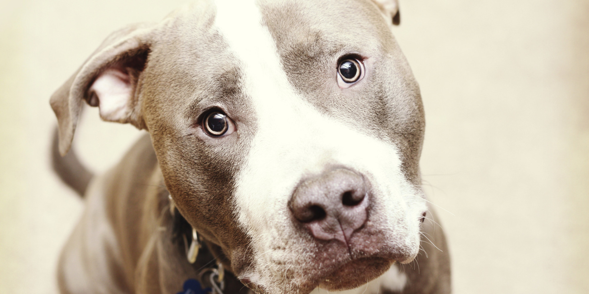 Pit Bull Dog Wallpapers Pictures Images