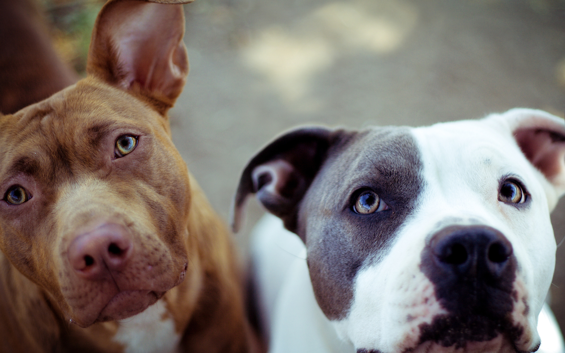 Pit bull dog wallpapers pictures images - Pitbull dogs pictures wallpaper ...