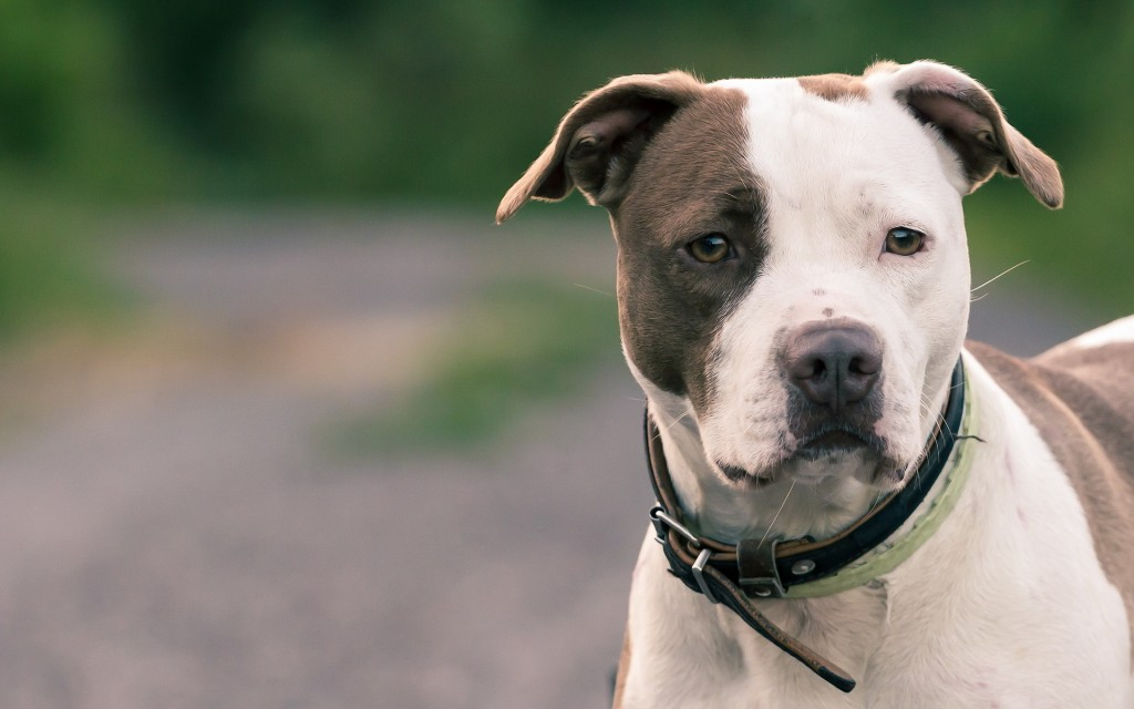 Pit bull Dog Widescreen Wallpaper 1920x1200