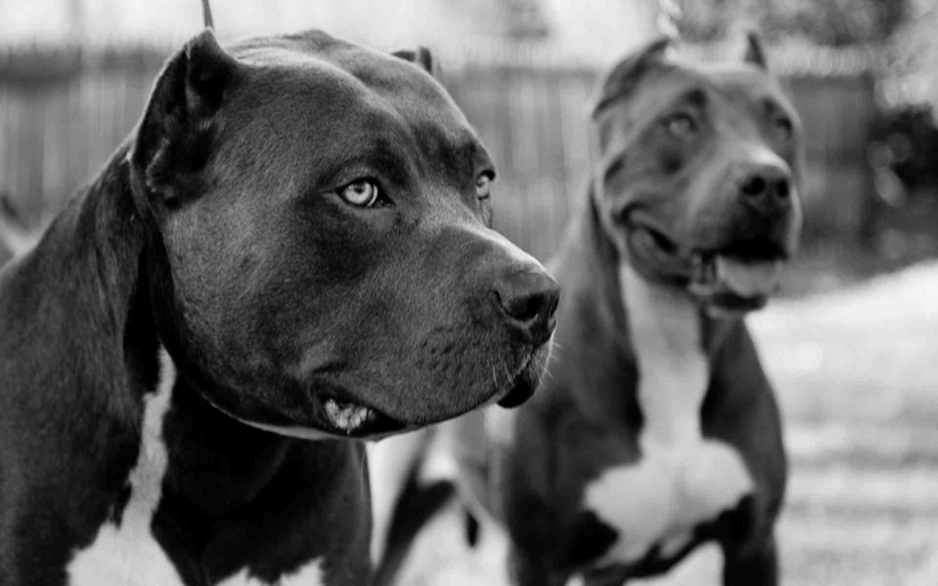 Pitbull Dog Live Wallpaper Download - Pitbull Dog Live Wallpaper ...
