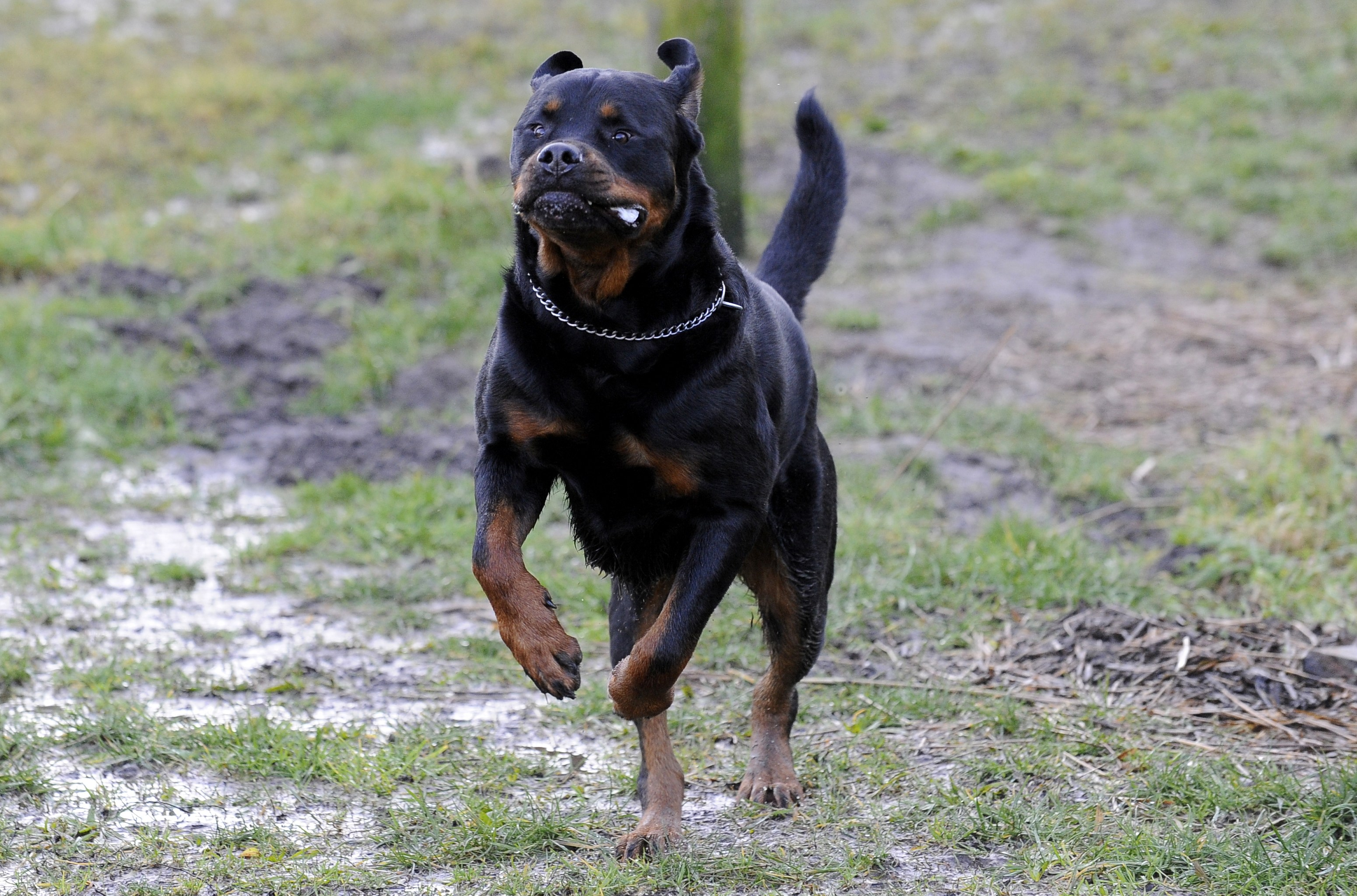 Rottweiler Wallpapers Pictures Images