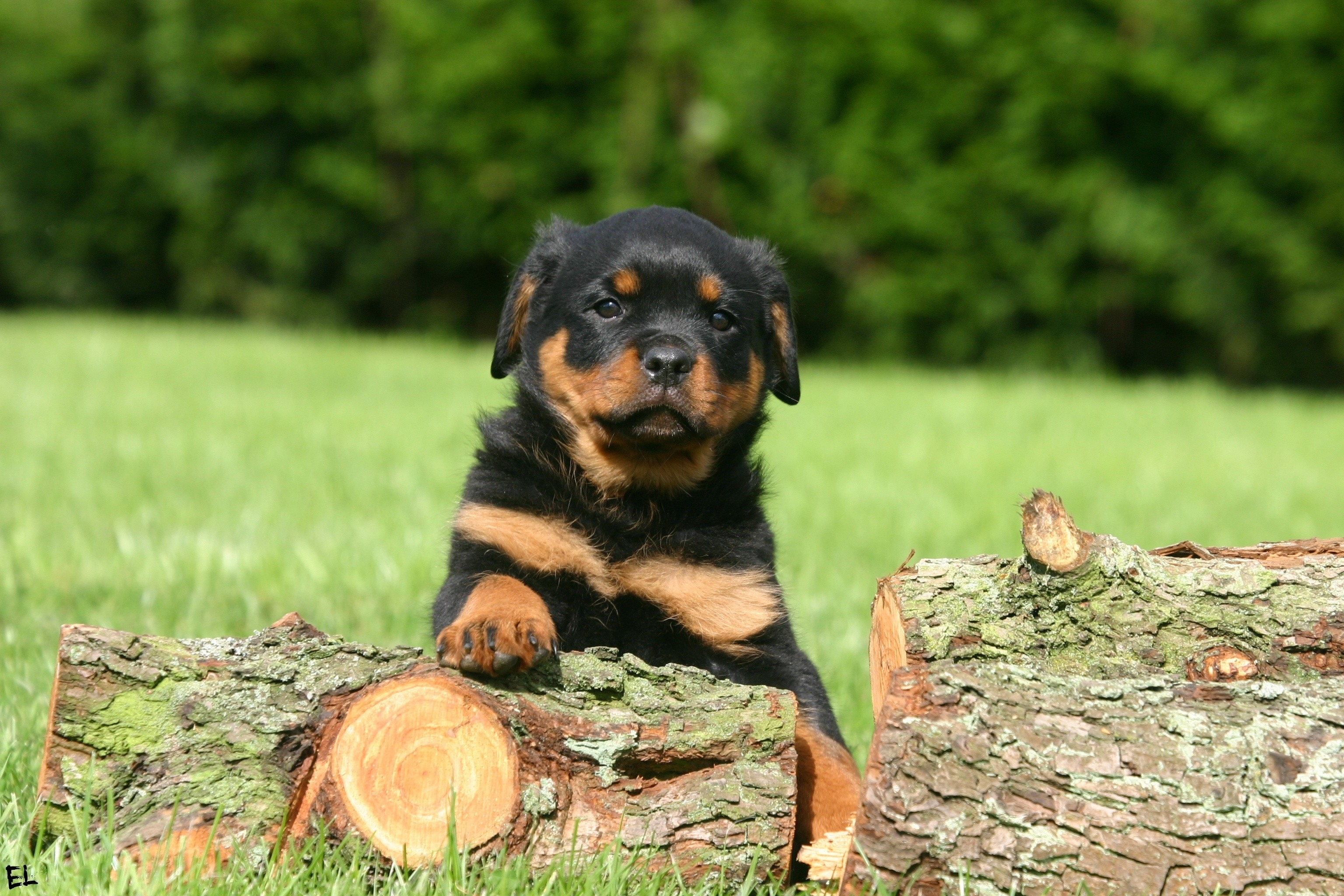 Rottweiler Wallpapers, Pictures, Images