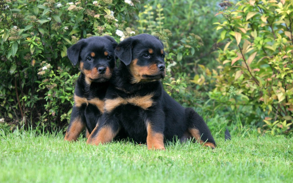 Rottweiler Widescreen Wallpaper 2560x1600