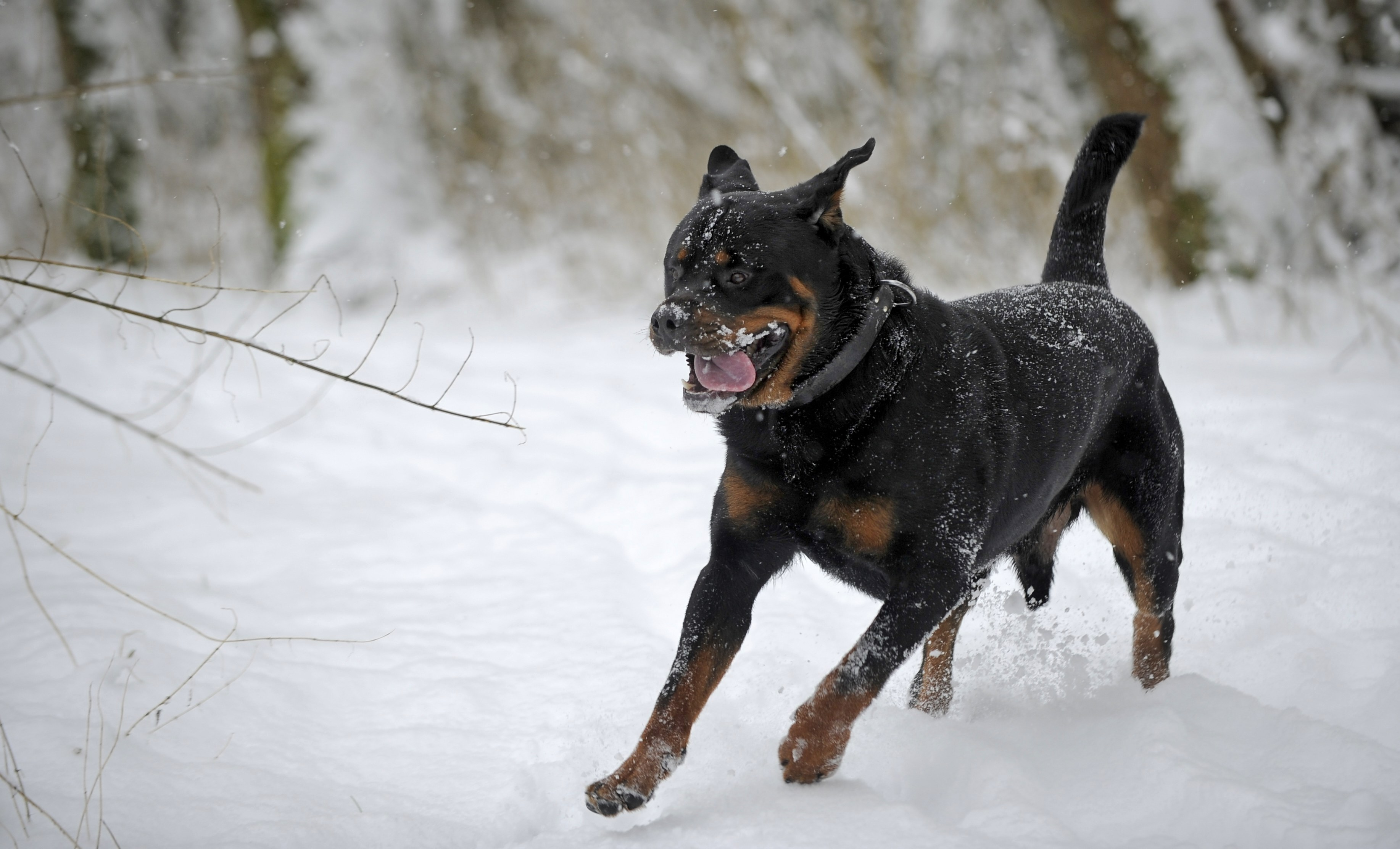 Rottweiler Wallpapers Pictures Images HD Wallpapers Download Free Images Wallpaper [1000image.com]