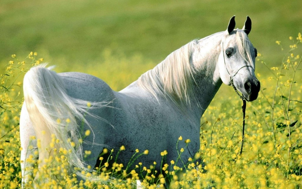 White Horse Widescreen Wallpaper 1920x1200