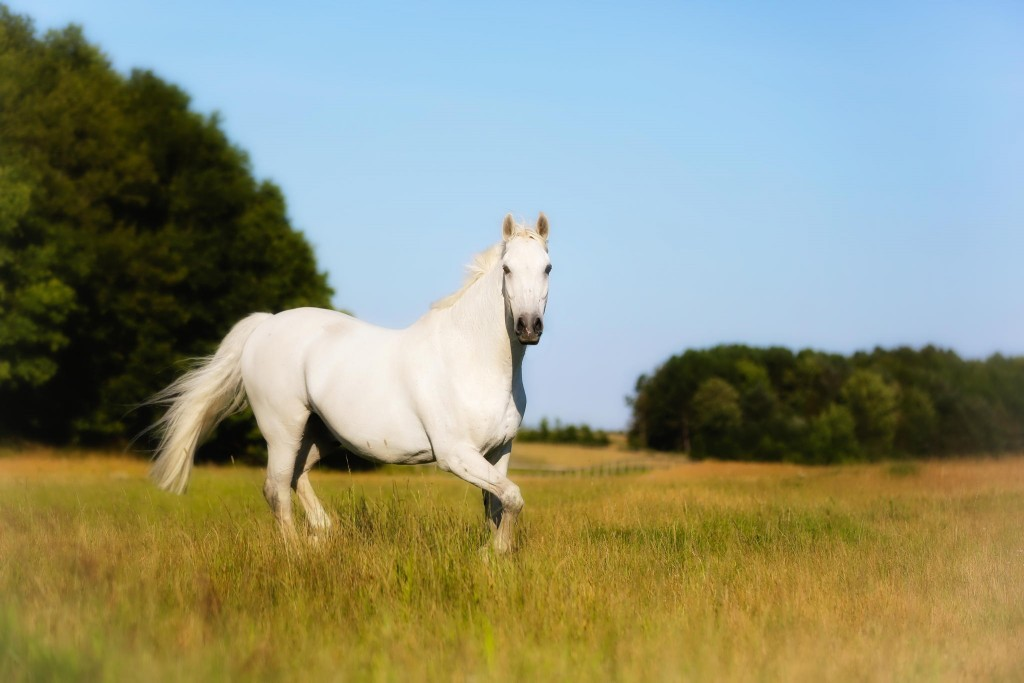 White Horse Wallpaper 2048x1365