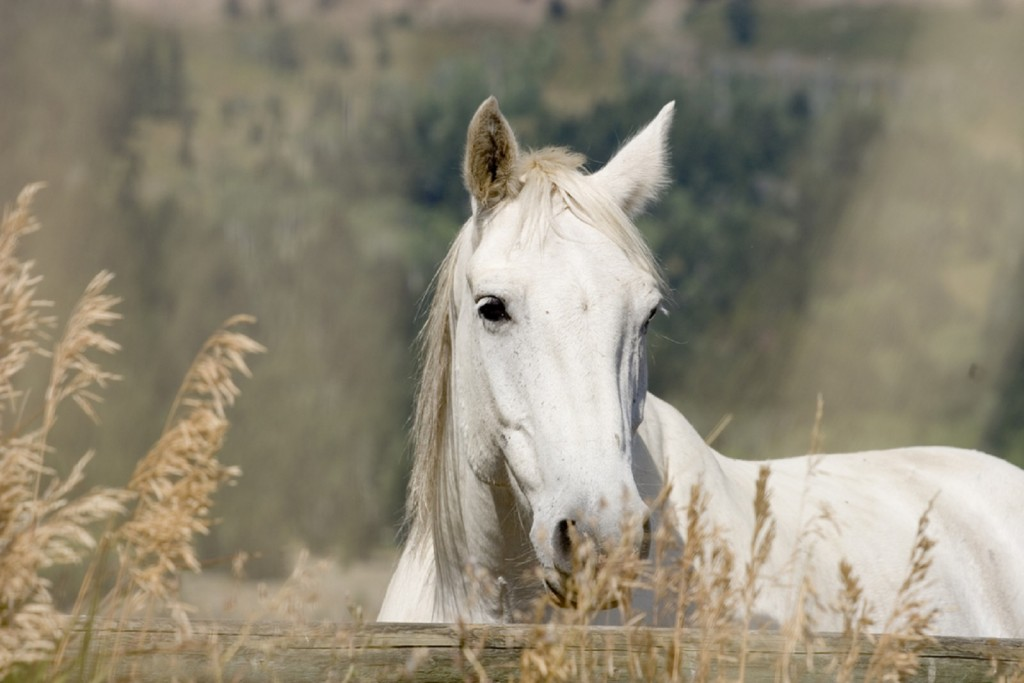 White Horse Wallpaper 1600x1067