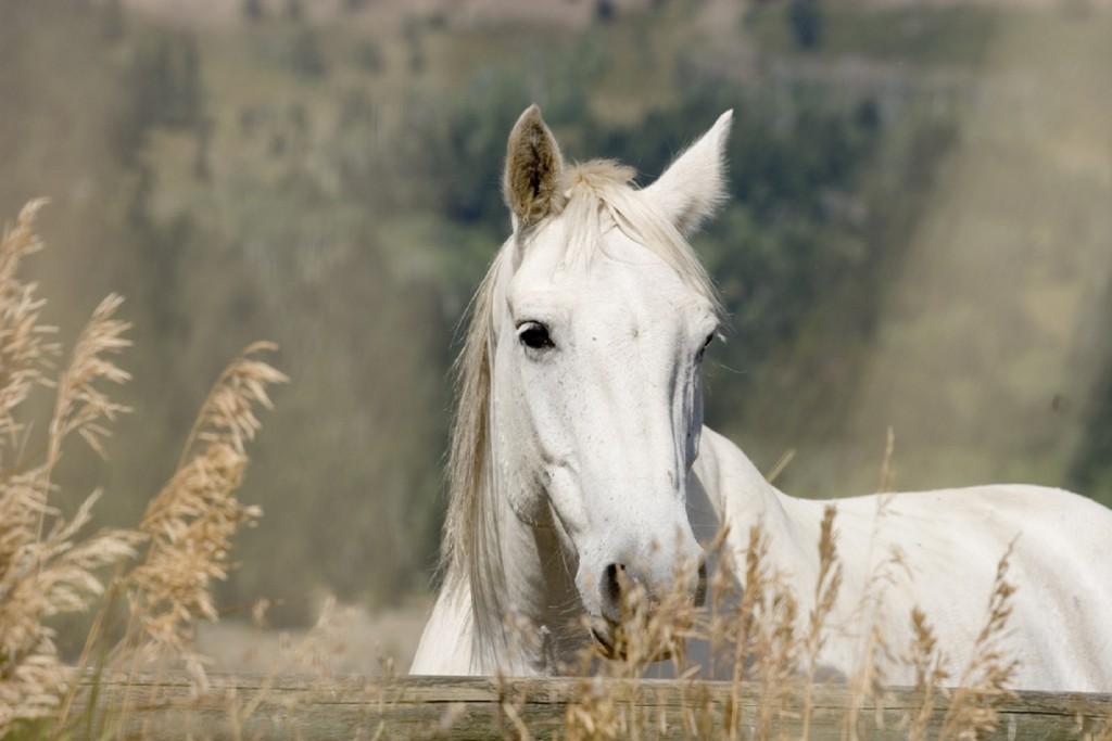 White Horse Wallpaper 1600x1067