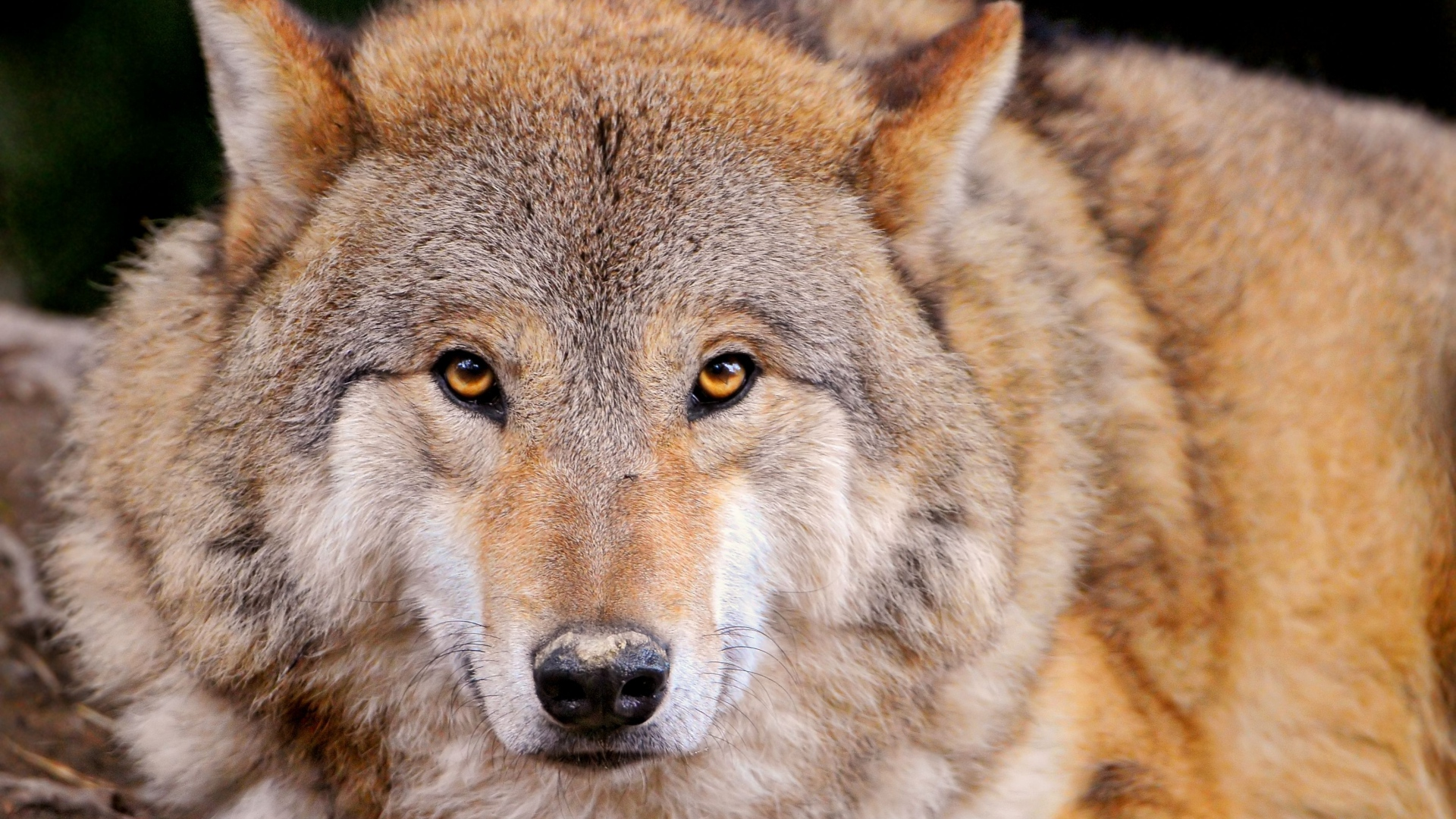 Wolf Wallpapers, Pictures, Images Wallpaper Hd Wolf