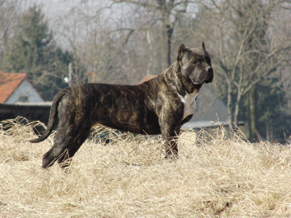 Presa Canario Dog Wallpaper 1600x1200