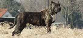 Presa Canario Dog Wallpapers