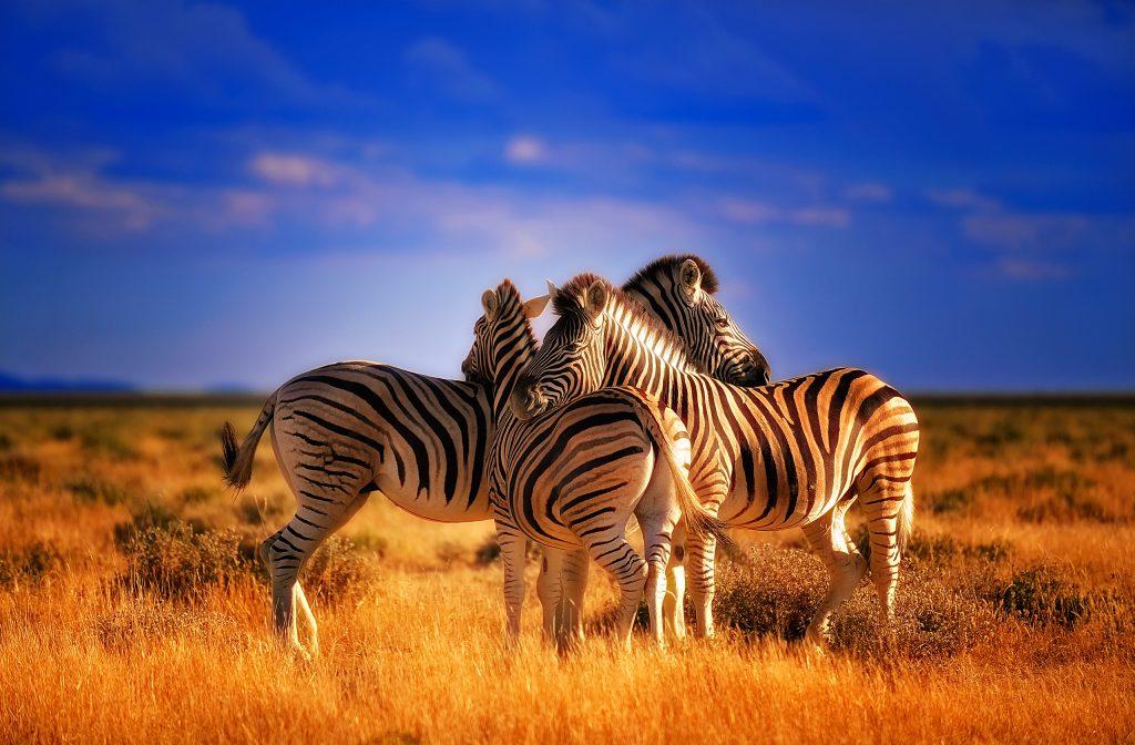 Zebra Wallpaper 2560x1680