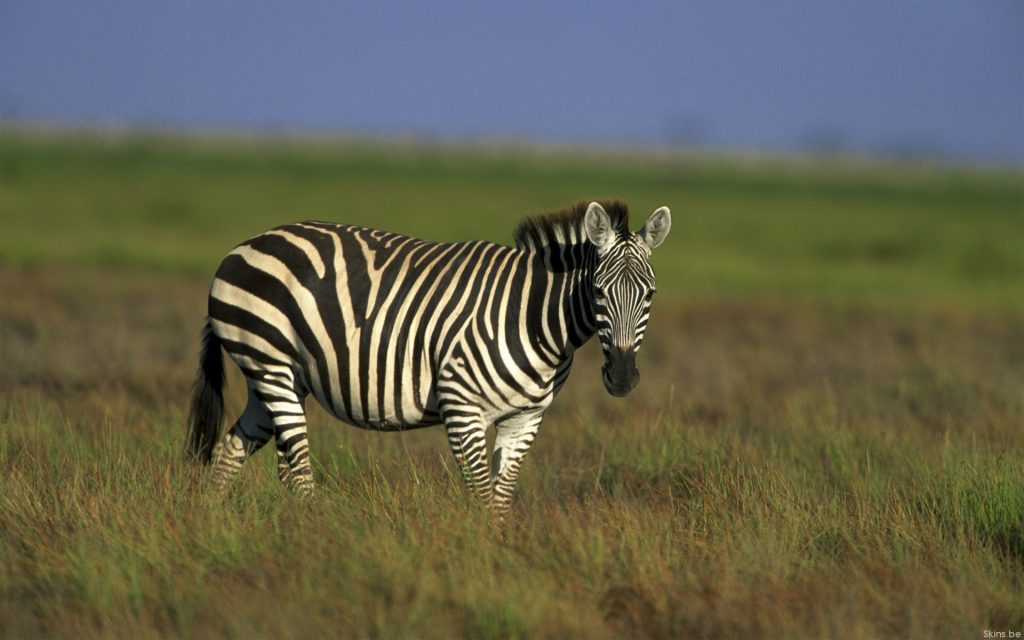 Zebra Widescreen Wallpaper 1920x1200