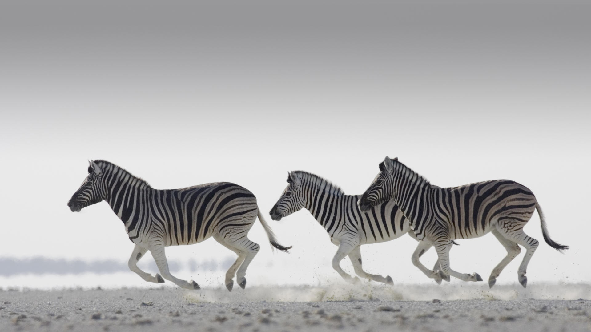 zebra wallpapers pictures images