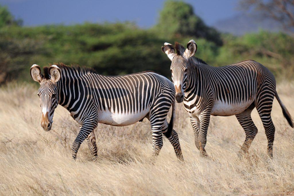 Zebra Wallpaper 4500x3000