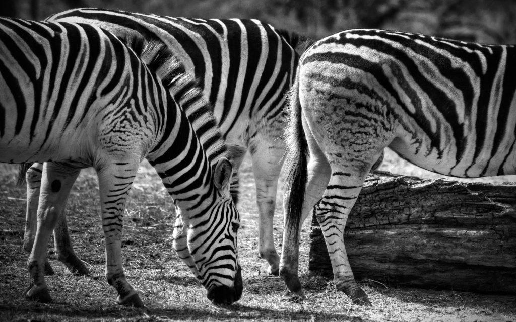 Zebra Widescreen Wallpaper 2560x1600