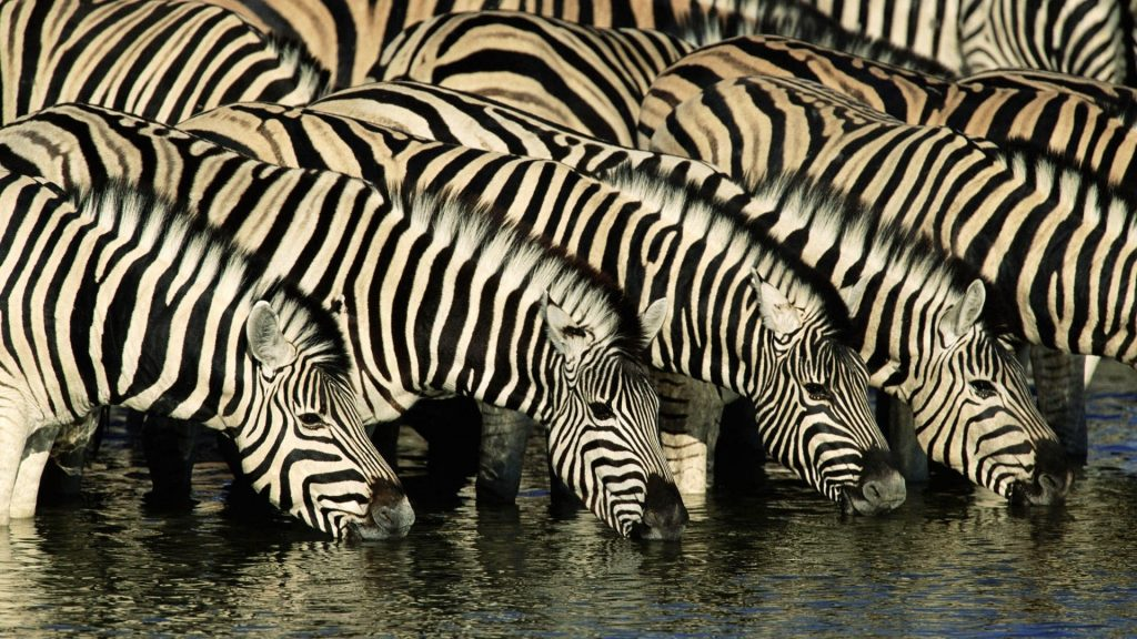 Zebra Full HD Wallpaper 1920x1080
