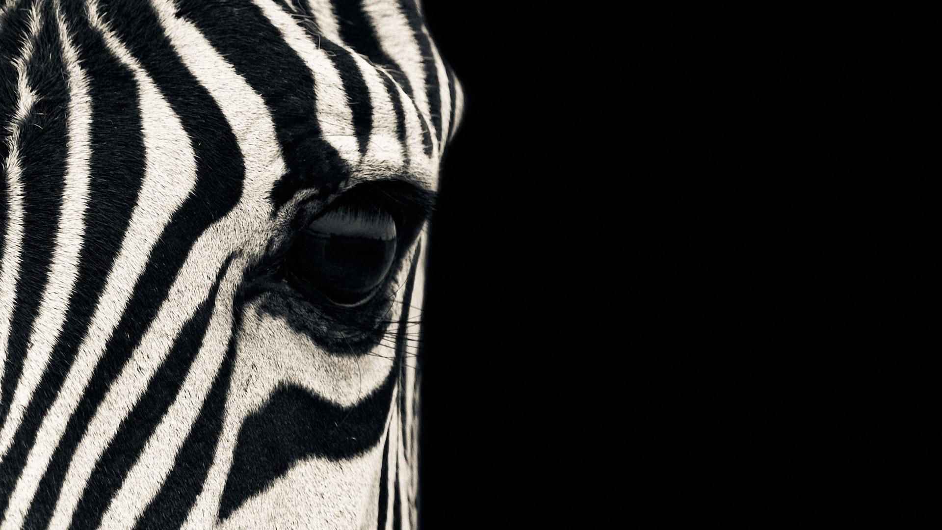 Zebra wallpapers pictures images for Zebra wallpaper