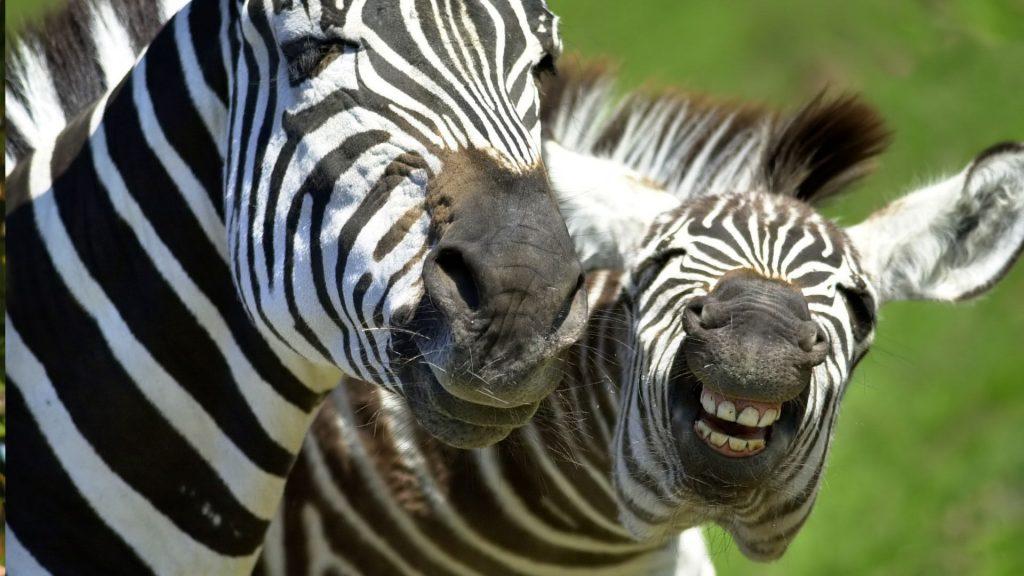 Zebra Full HD Wallpaper 1920x1080