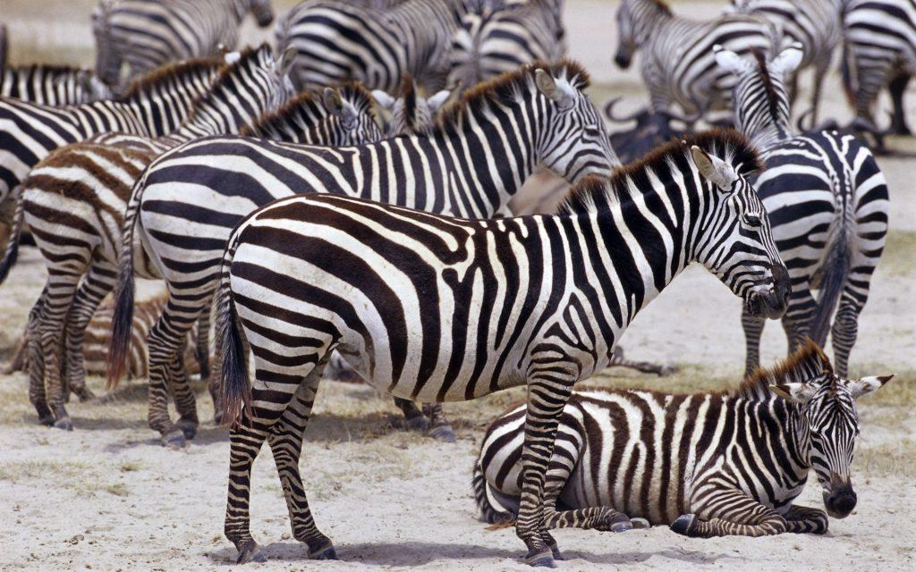 Zebra Widescreen Wallpaper 1920x1200