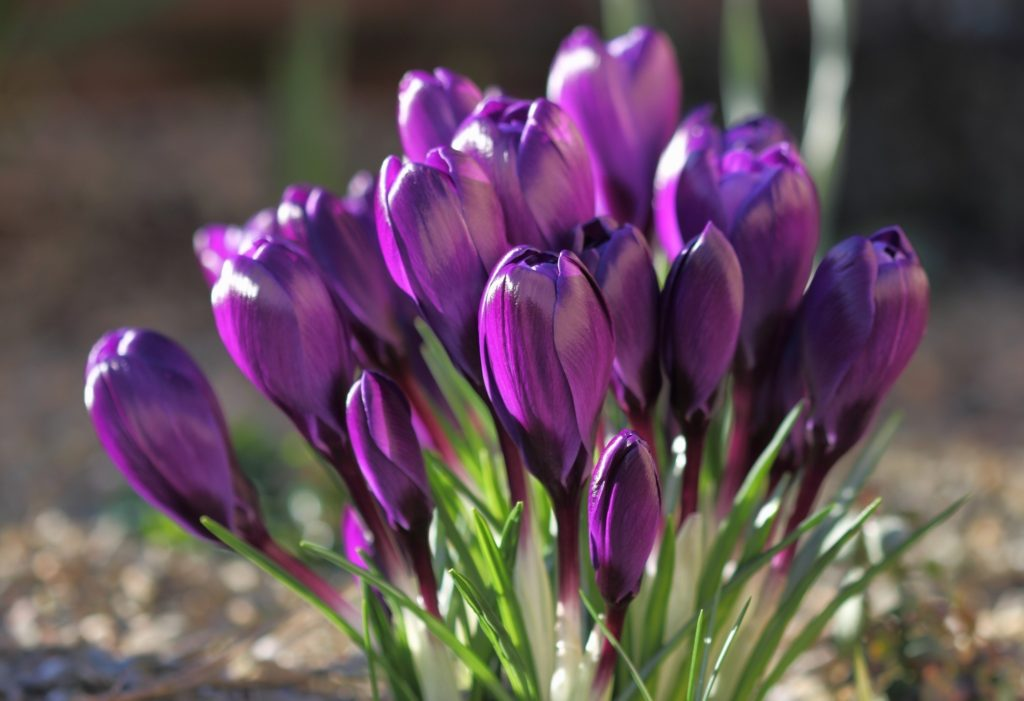 Crocus Wallpaper