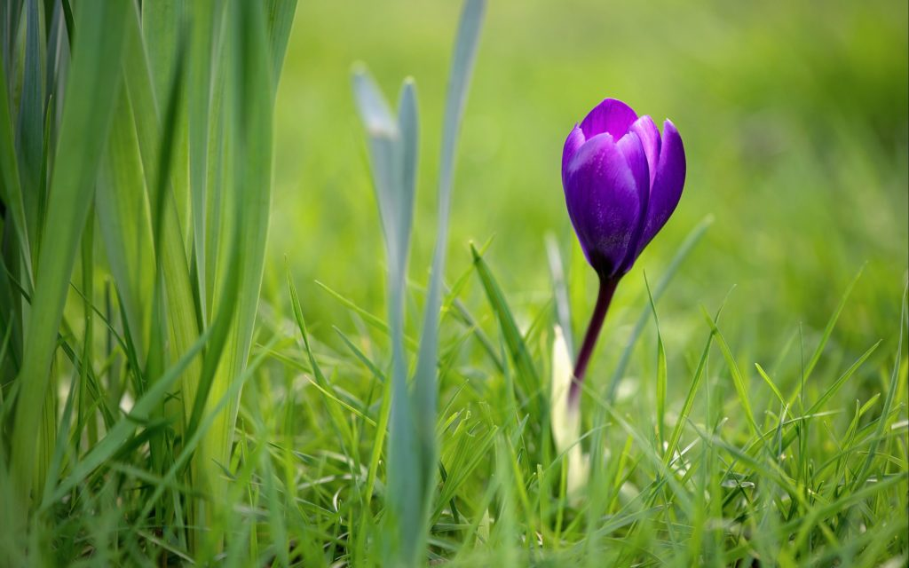 Crocus Widescreen Wallpaper