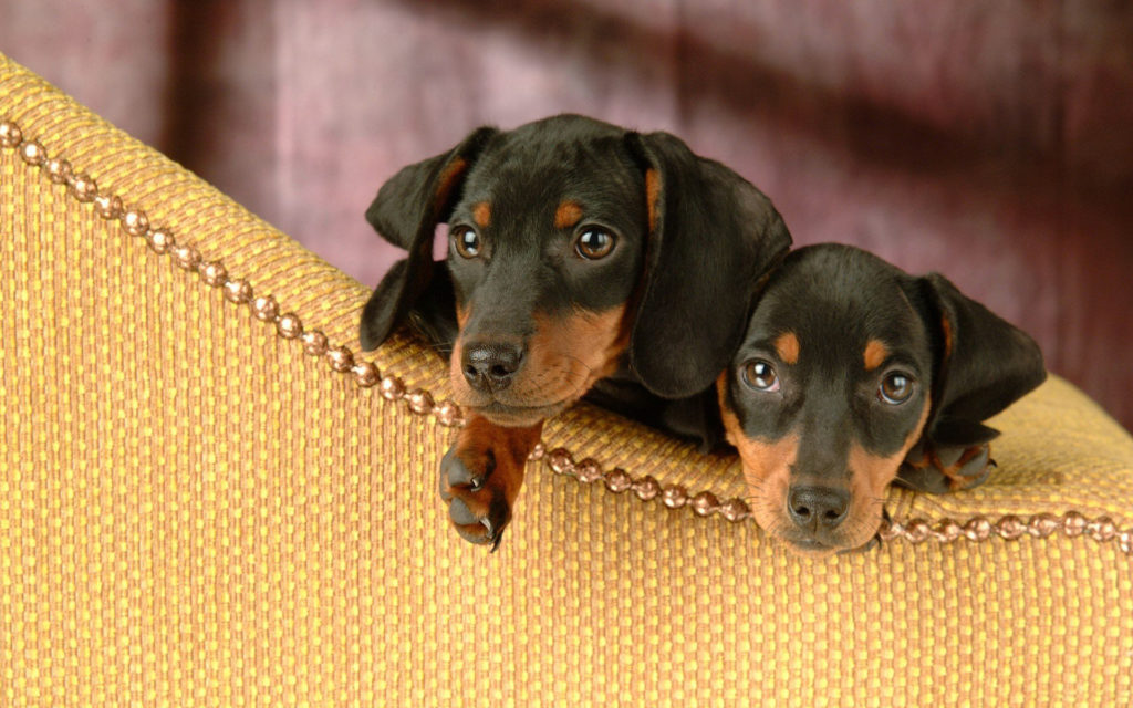 Dachshund Widescreen Wallpaper