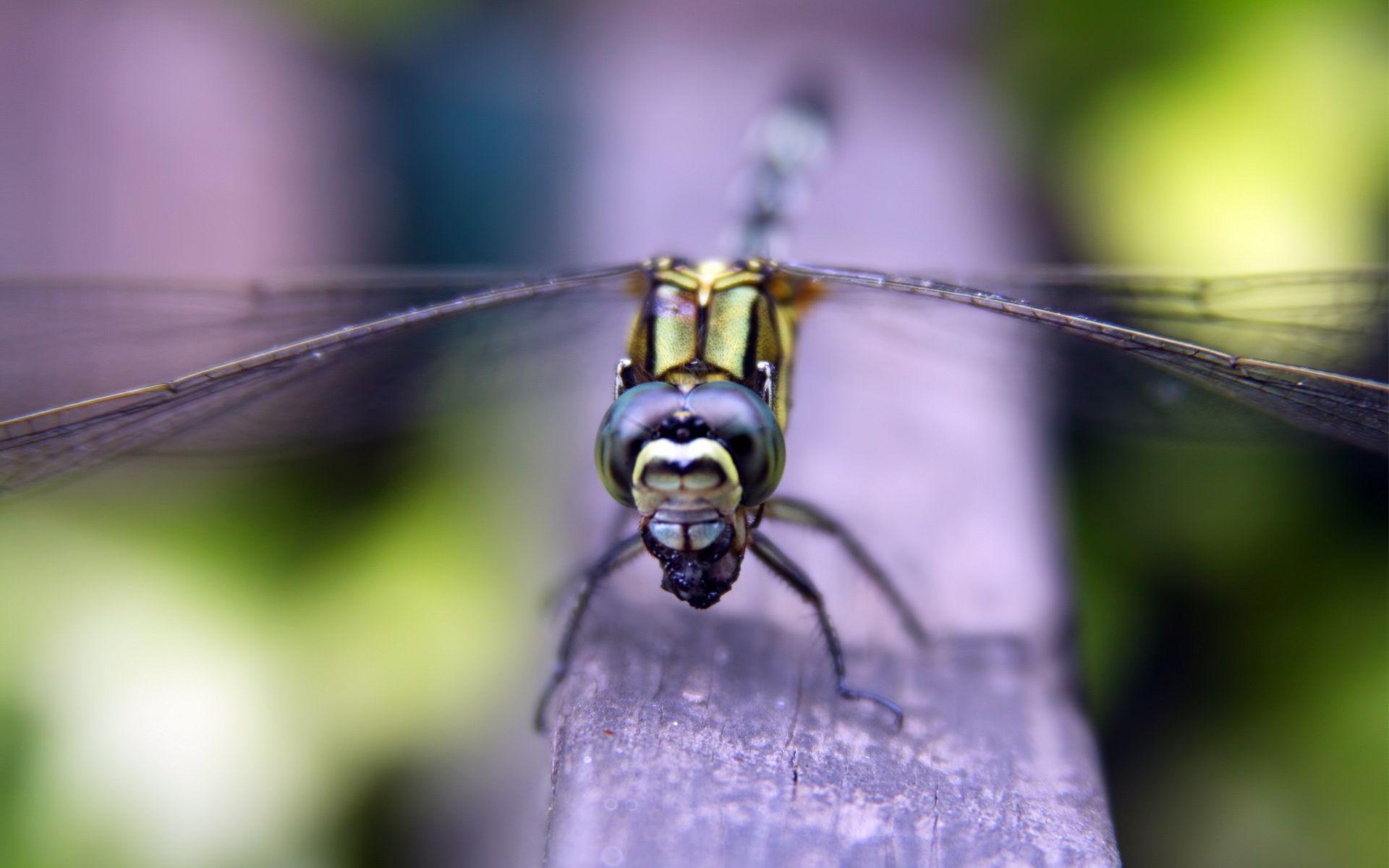 Daisy Dragonfly Duet HD desktop wallpaper Widescreen High
