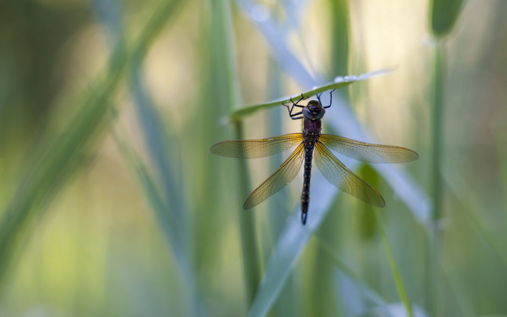 Dragonfly Widescreen Wallpaper