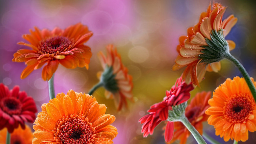 Gerbera Full HD Wallpaper