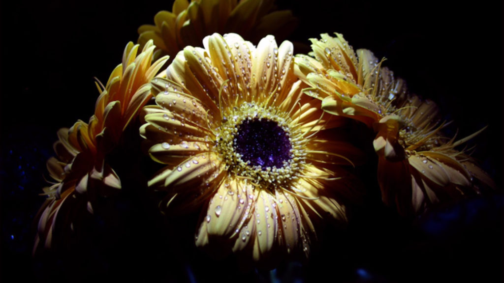 Gerbera Widescreen Wallpaper