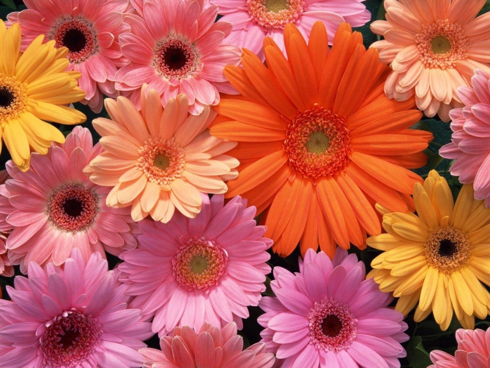 Фото цветы красивые герберы