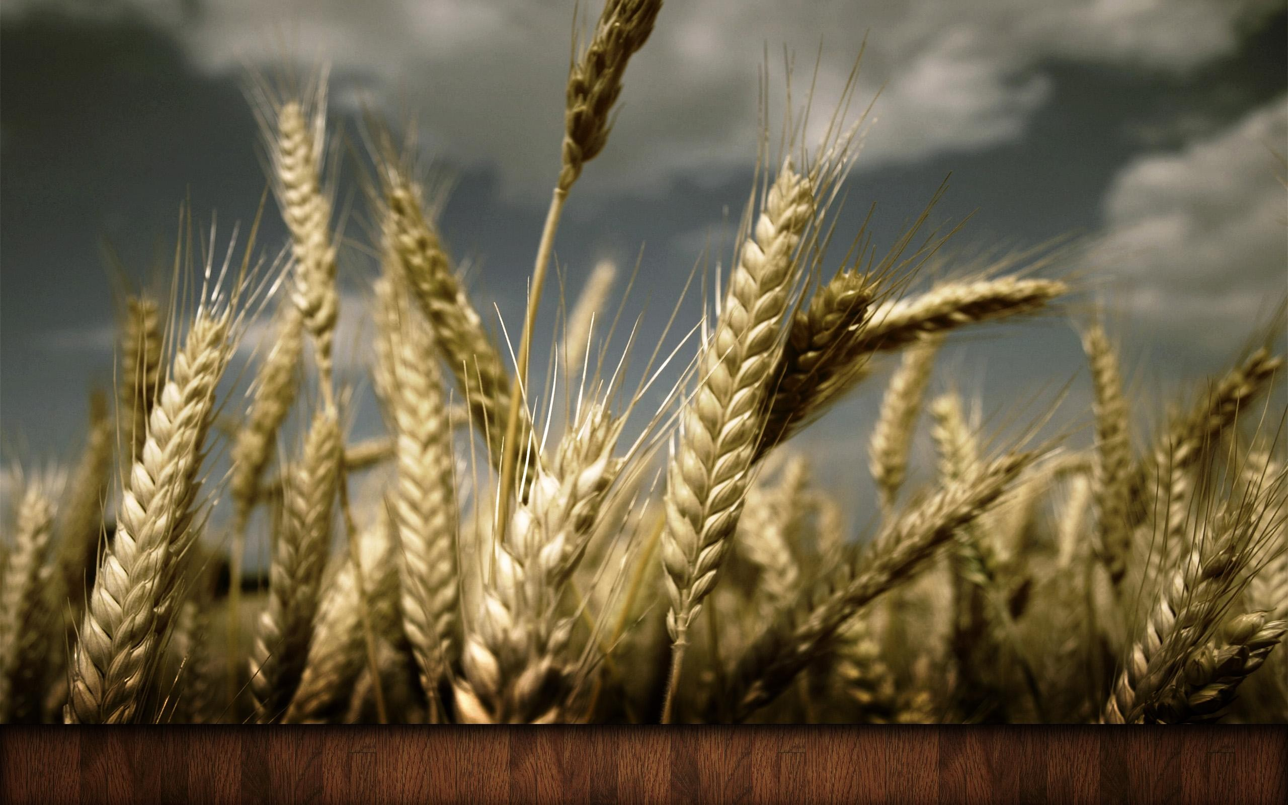 Cornfield Wallpapers  Pictures  Images