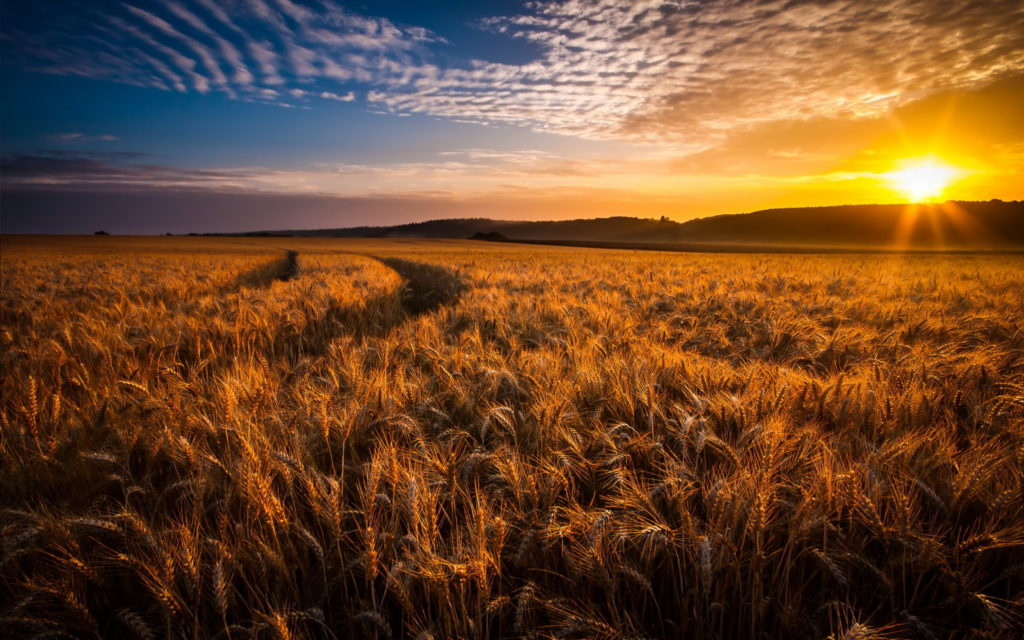 Cornfield Widescreen Wallpaper