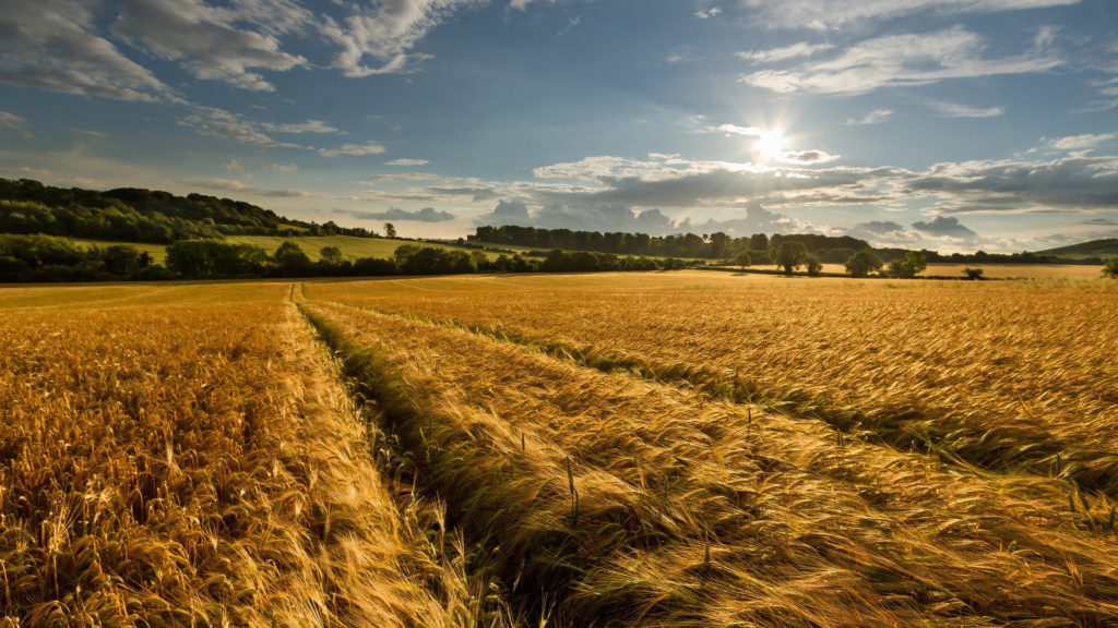 Cornfield Full HD Wallpaper