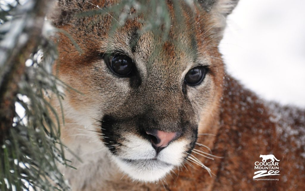 Cougar Backgrounds 1280x800