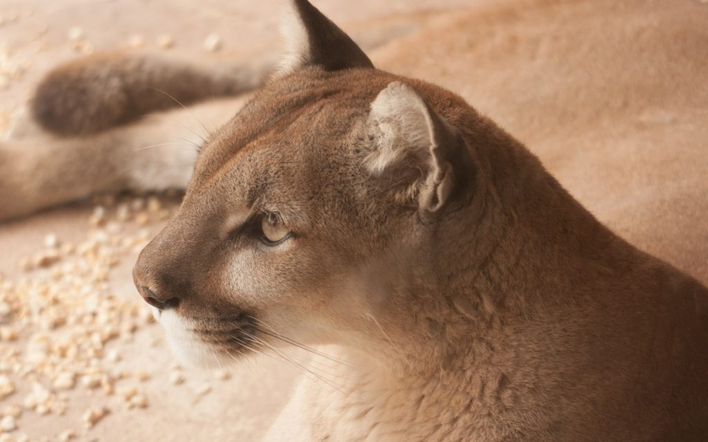 Cougar Backgrounds 1920x1200