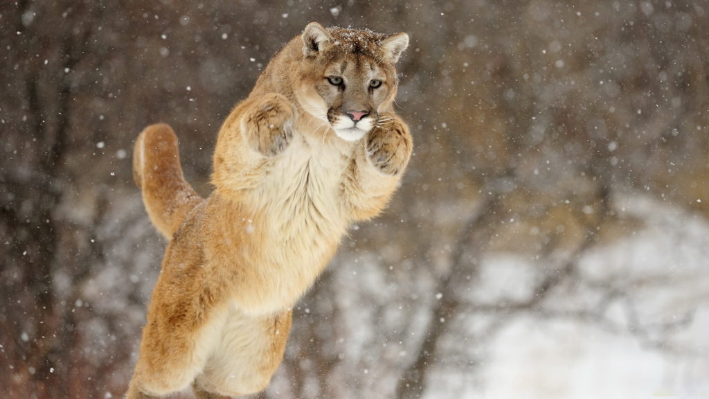 Cougar Backgrounds 1920x1080