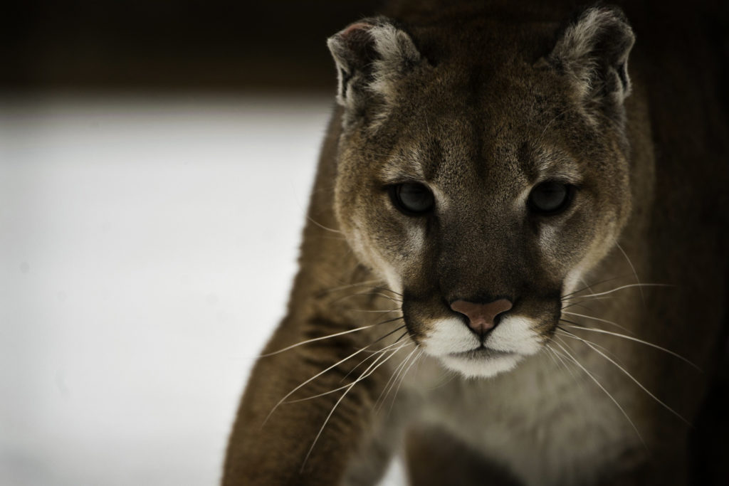 Cougar Backgrounds 3000x2000