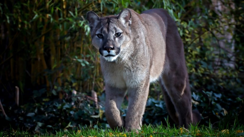 Cougar Backgrounds 2560x1440