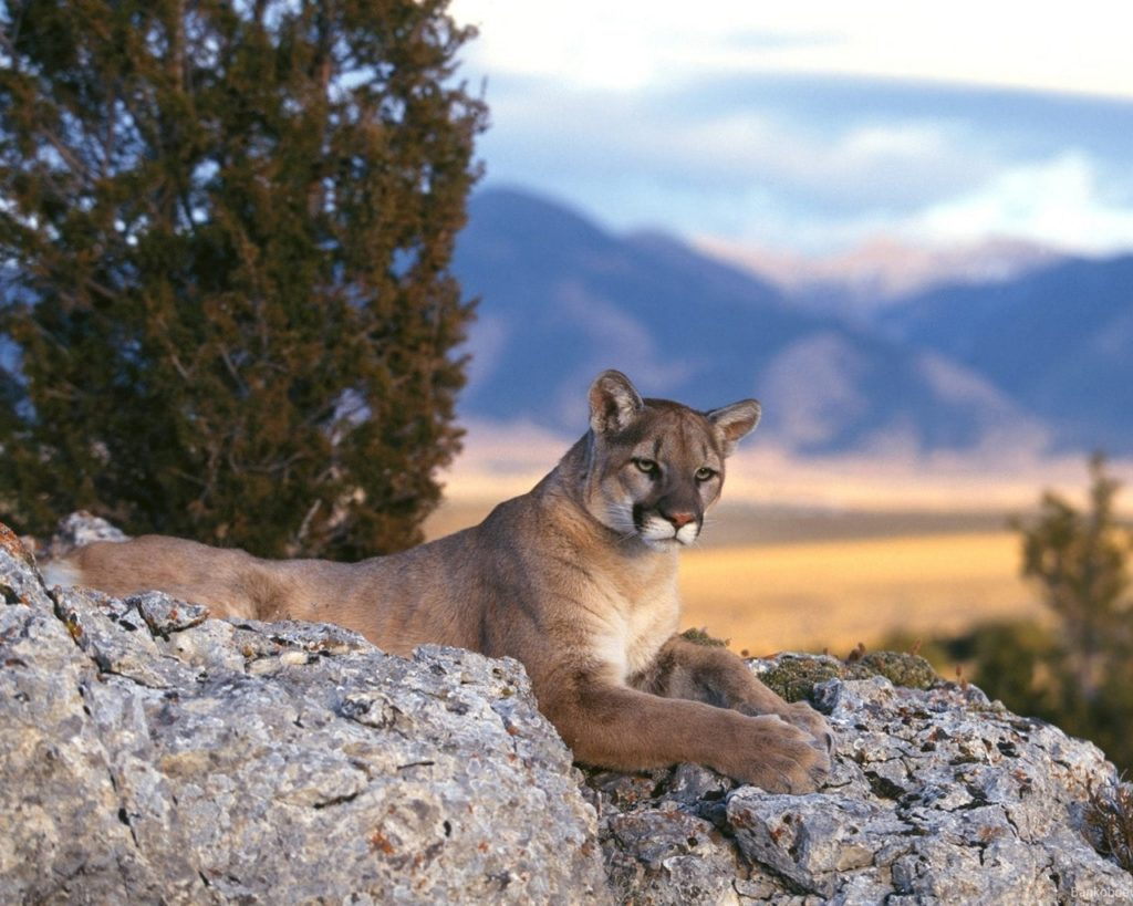 Cougar Backgrounds 1280x1024