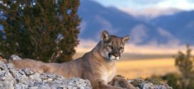 Cougar Backgrounds