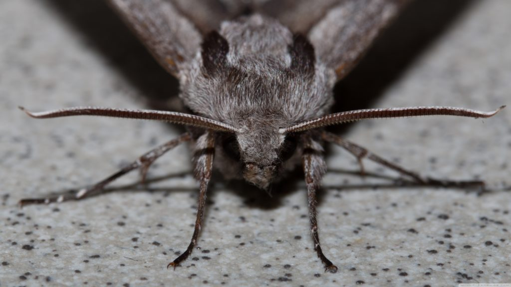 Moth 4K UHD Wallpaper