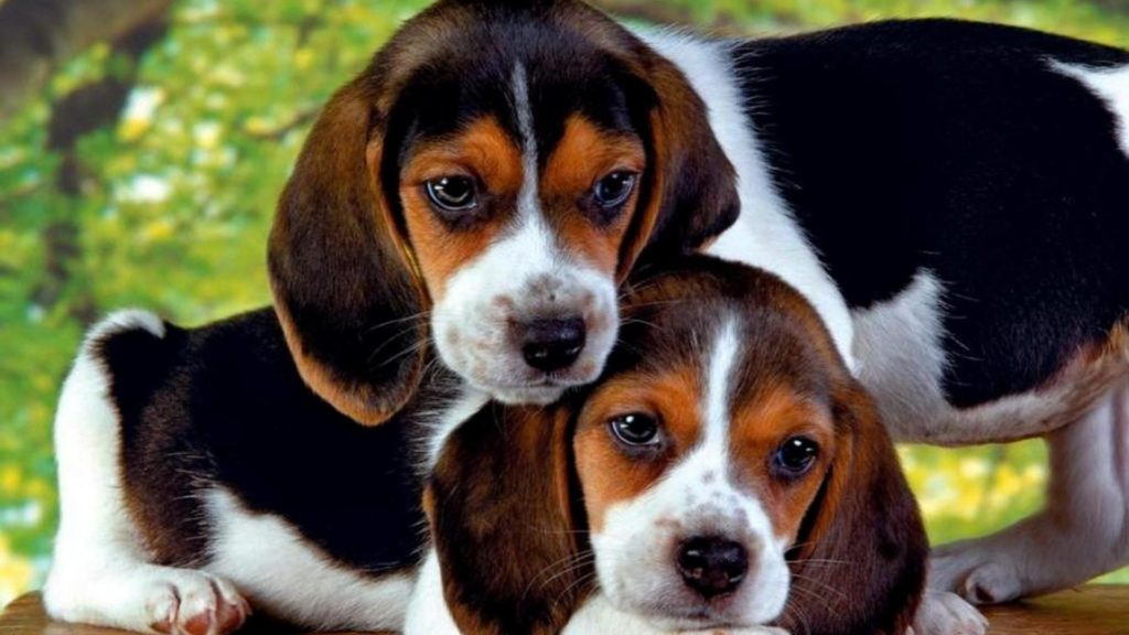 Beagle Full HD Wallpaper