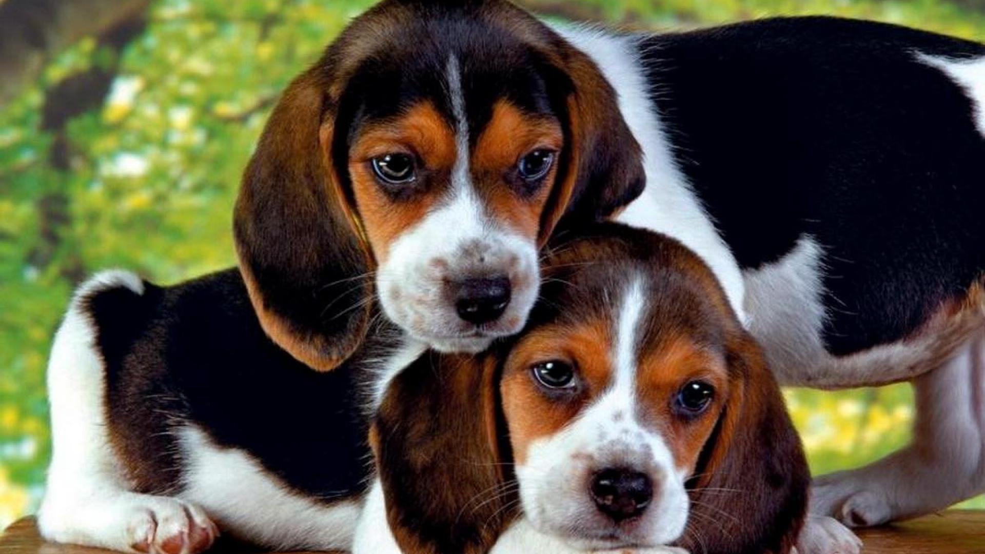 Fondos De Pantalla De Perros Wallpapers Hd: Beagle Wallpapers, Pictures, Images