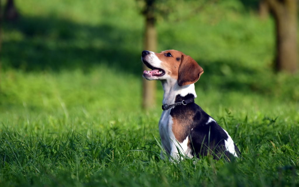 Beagle Widescreen Wallpaper