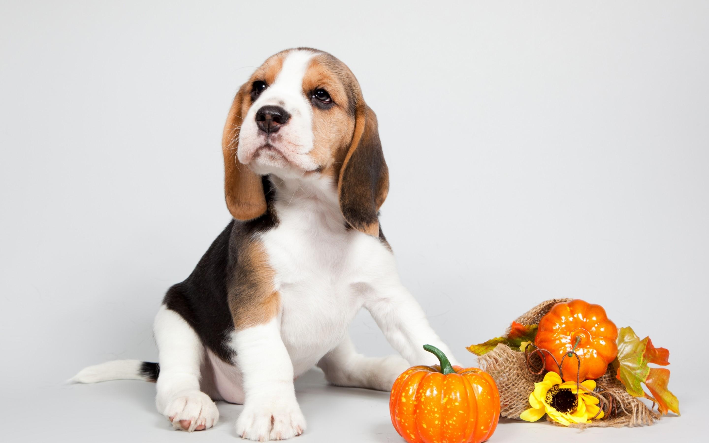 Great Wallpaper Halloween Puppy - beagle-2  Image_347181.jpg