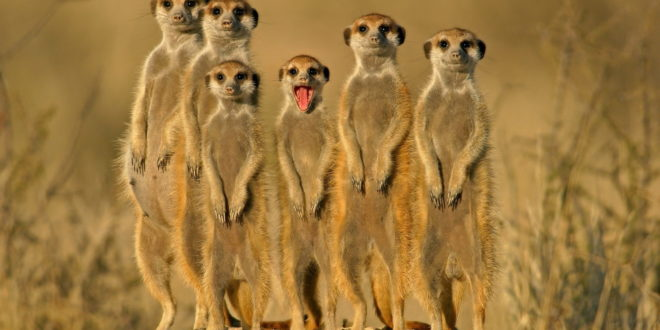Meerkat Wallpapers